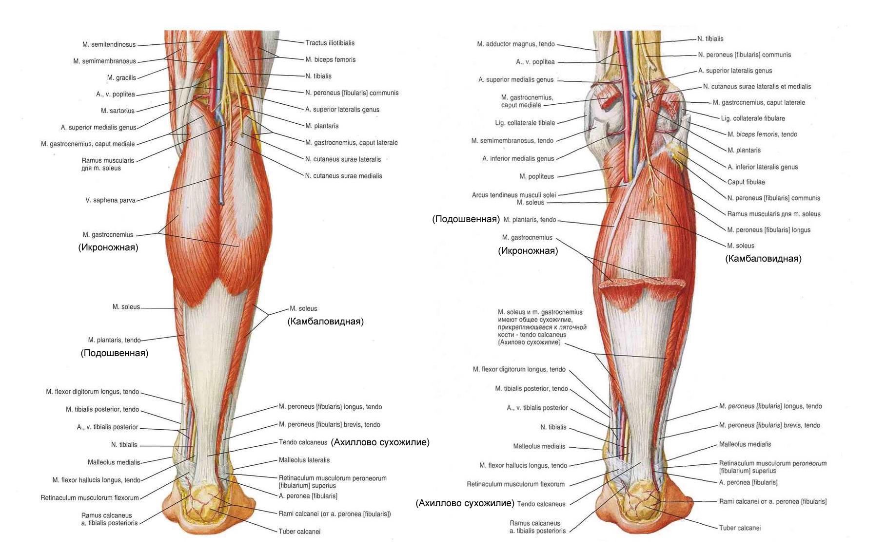 Мышца большеберцовая